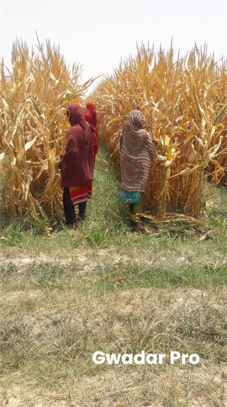 China's maize-soybean strip intercropping tech achieves bumper harvest in Punjab
