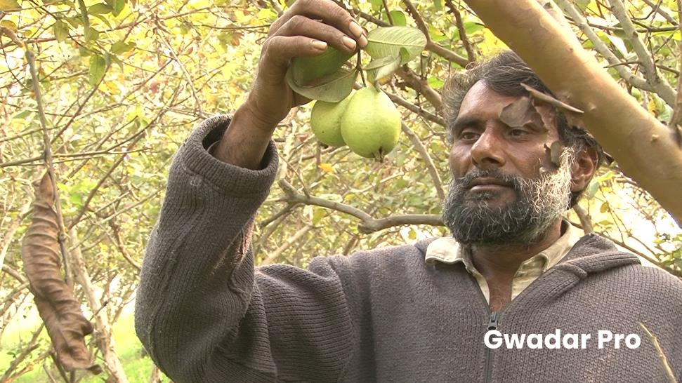 Promising China-Pak Cooperation: Better Roads to Boost Pakistani Guava Industry