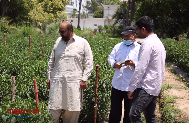 Pakistani chilli to spice up China in August